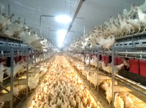 Poultry Products - CountyLine